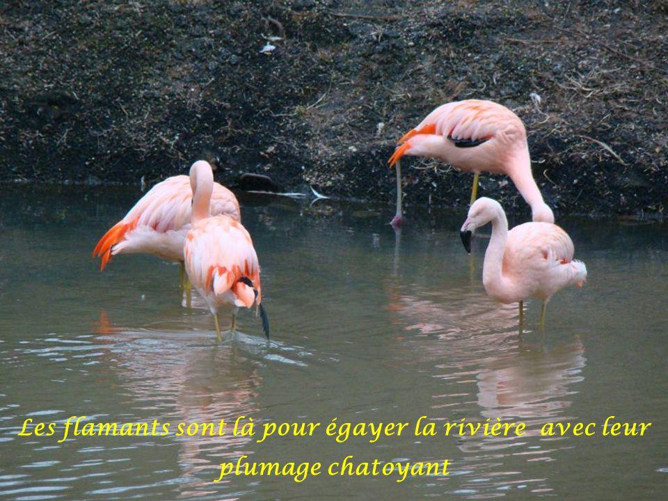 Les flamants sont là pour égayer la rivière avec leur plumage chatoyant