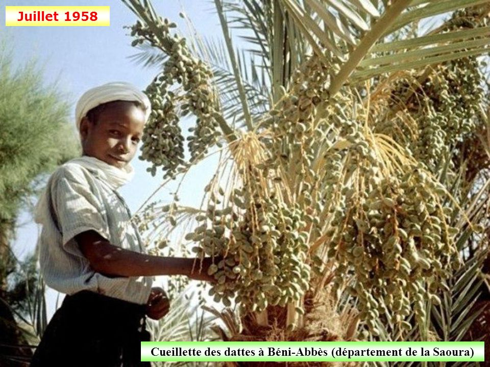 Cueillette des dattes à Béni-Abbès (département de la Saoura)