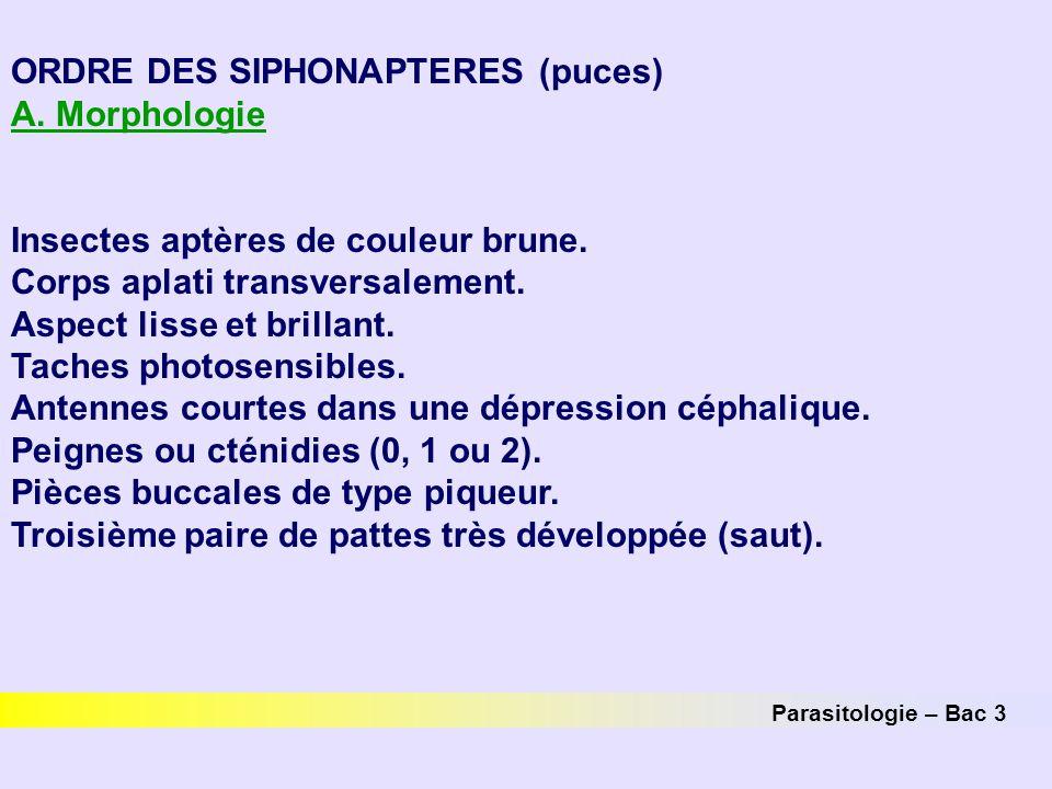 ORDRE DES SIPHONAPTERES (puces) A. Morphologie