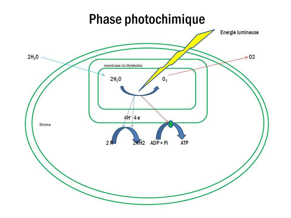Phase photochimique Energie lumineuse membrane du thylakoïde