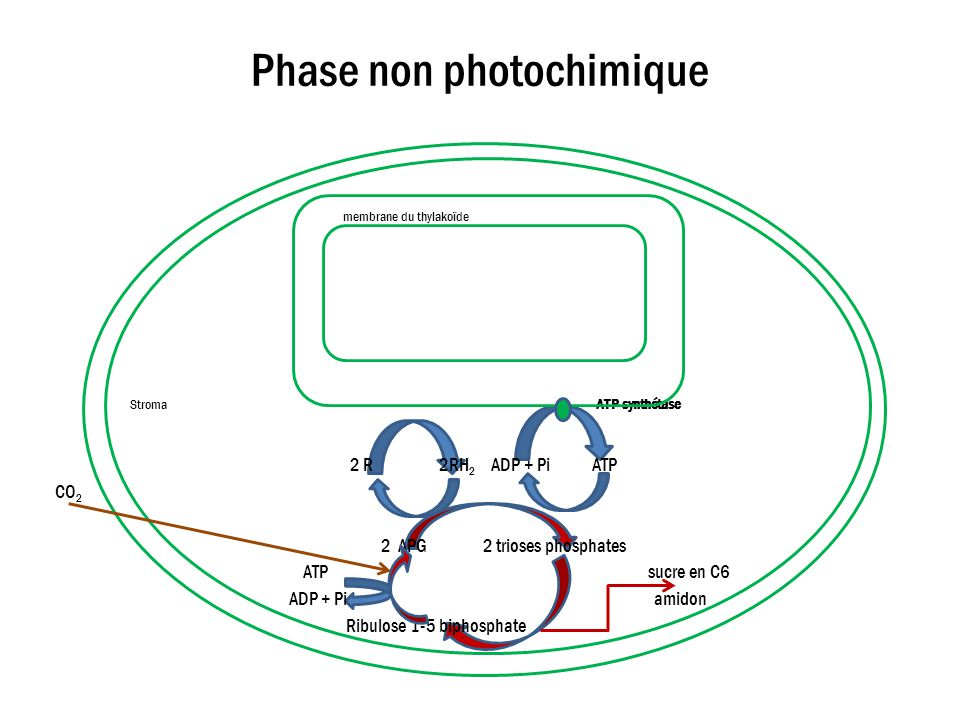 Phase non photochimique