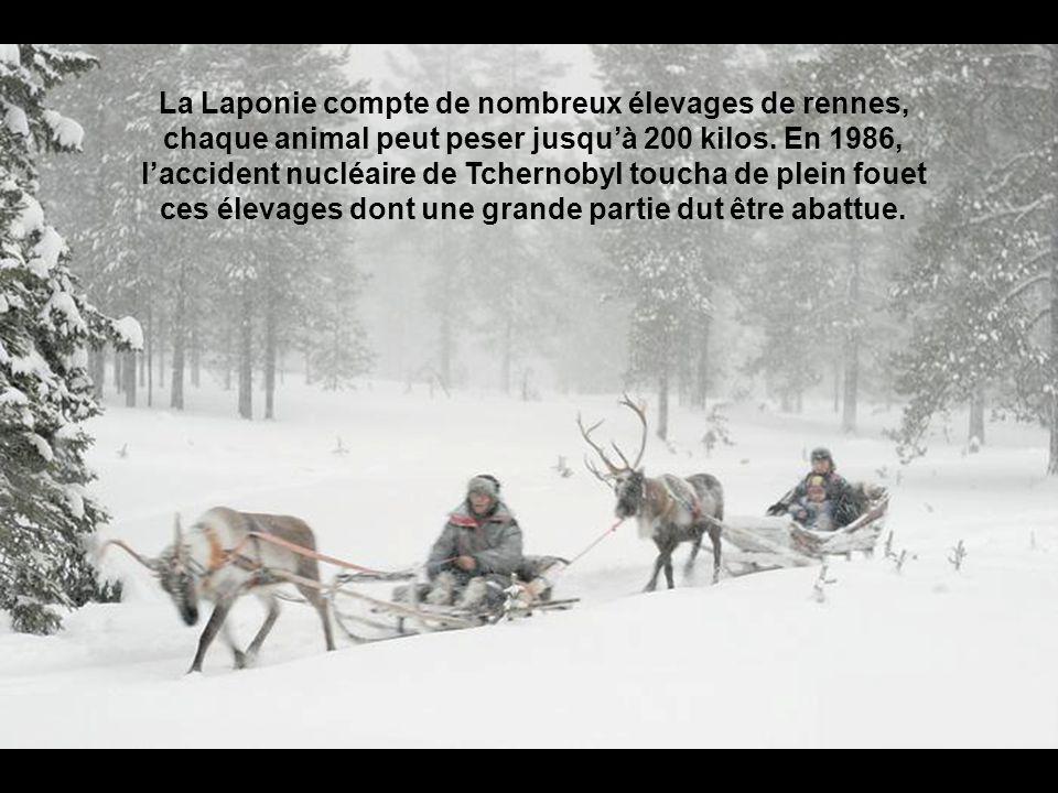 La Laponie compte de nombreux élevages de rennes, chaque animal peut peser jusqu'à 200 kilos.