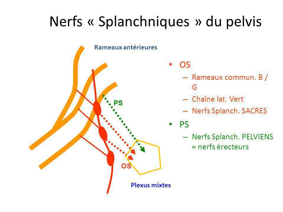 Nerfs « Splanchniques » du pelvis