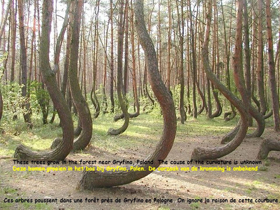These trees grow in the forest near Gryfino, Poland