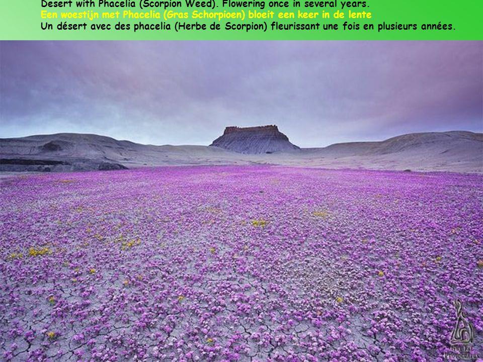 Desert with Phacelia (Scorpion Weed). Flowering once in several years.