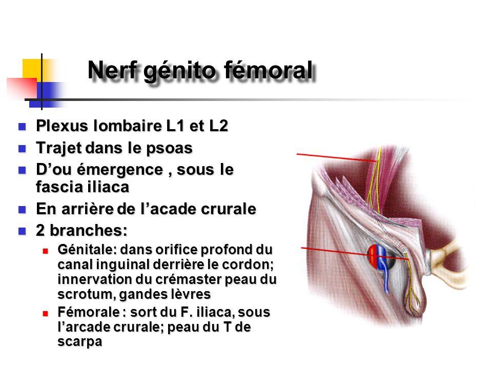 Nerf génito fémoral Plexus lombaire L1 et L2 Trajet dans le psoas