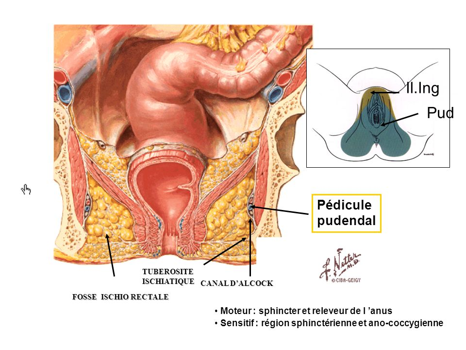 Il.Ing Pud Pédicule pudendal Moteur : sphincter et releveur de l 'anus