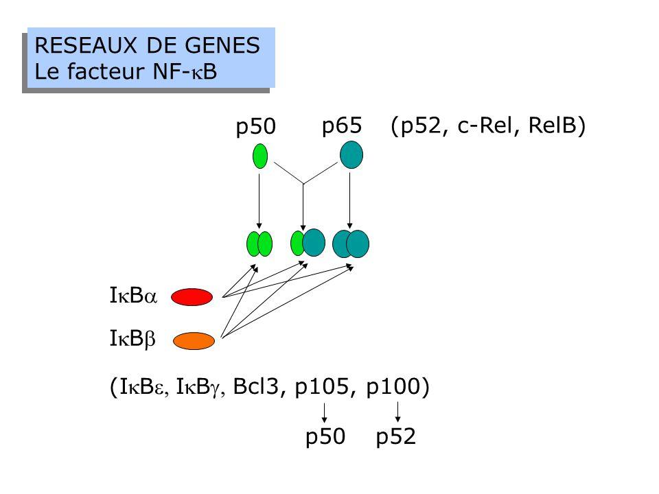 RESEAUX DE GENES Le facteur NF-kB. IkBa. p50. p65. IkBb. (p52, c-Rel, RelB) (IkBe, IkBg, Bcl3, p105, p100)