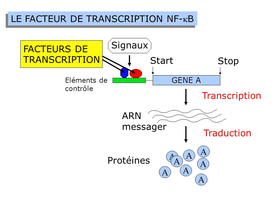 LE FACTEUR DE TRANSCRIPTION NF-kB