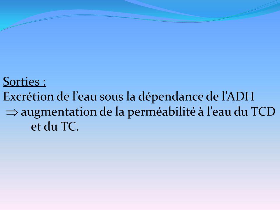 Sorties : Excrétion de l'eau sous la dépendance de l'ADH.  augmentation de la perméabilité à l'eau du TCD.