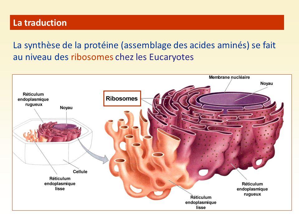 La traduction La synthèse de la protéine (assemblage des acides aminés) se fait au niveau des ribosomes chez les Eucaryotes.