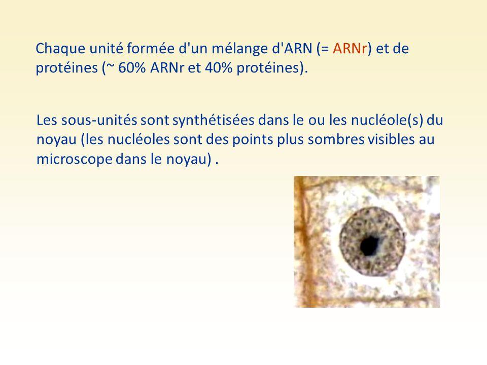 Chaque unité formée d un mélange d ARN (= ARNr) et de protéines (~ 60% ARNr et 40% protéines).