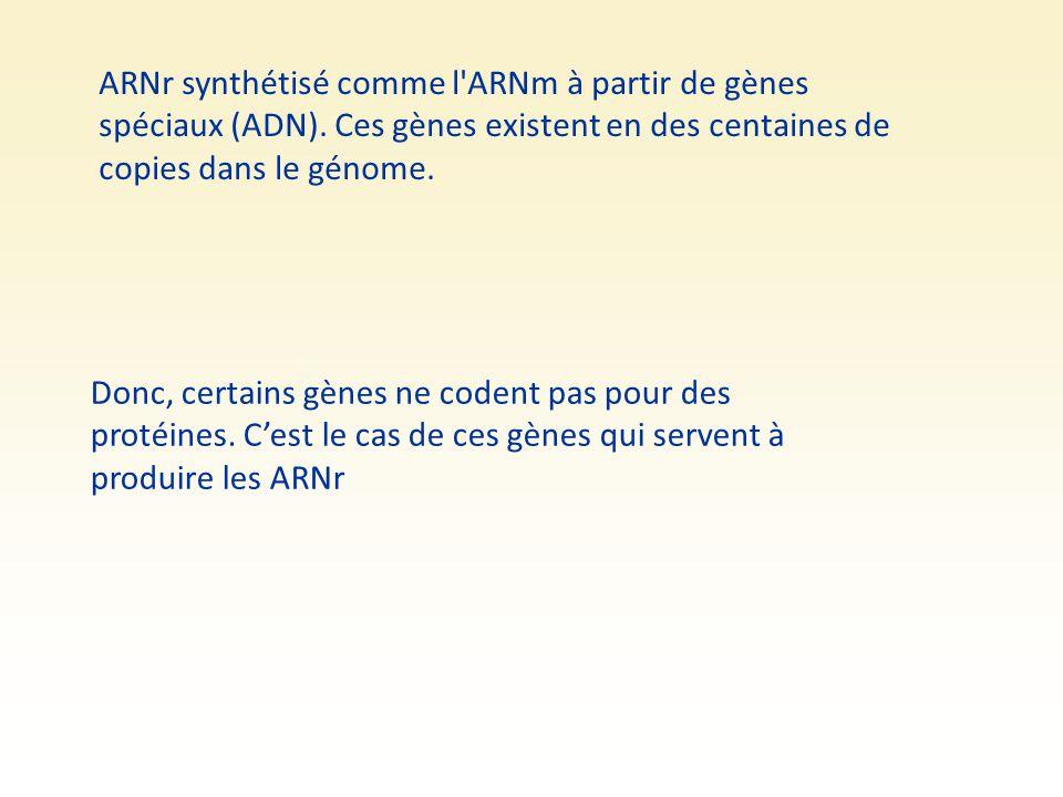 ARNr synthétisé comme l ARNm à partir de gènes spéciaux (ADN)