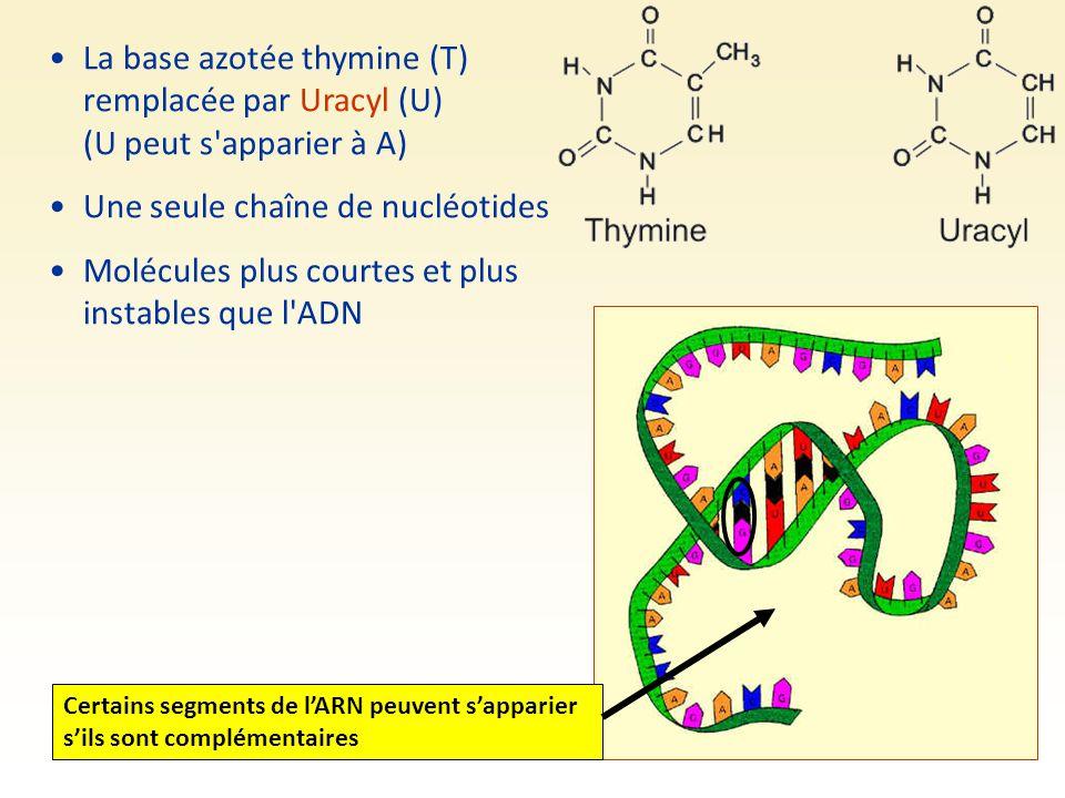 Une seule chaîne de nucléotides