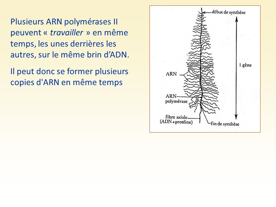 Plusieurs ARN polymérases II peuvent « travailler » en même temps, les unes derrières les autres, sur le même brin d'ADN.