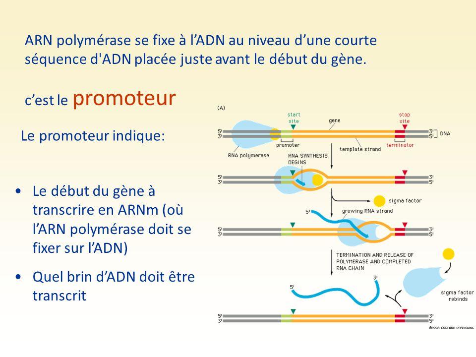 ARN polymérase se fixe à l'ADN au niveau d'une courte séquence d ADN placée juste avant le début du gène.