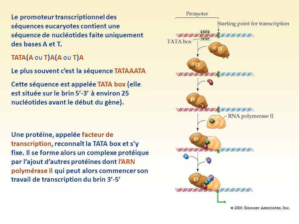 Le promoteur transcriptionnel des séquences eucaryotes contient une séquence de nucléotides faite uniquement des bases A et T.
