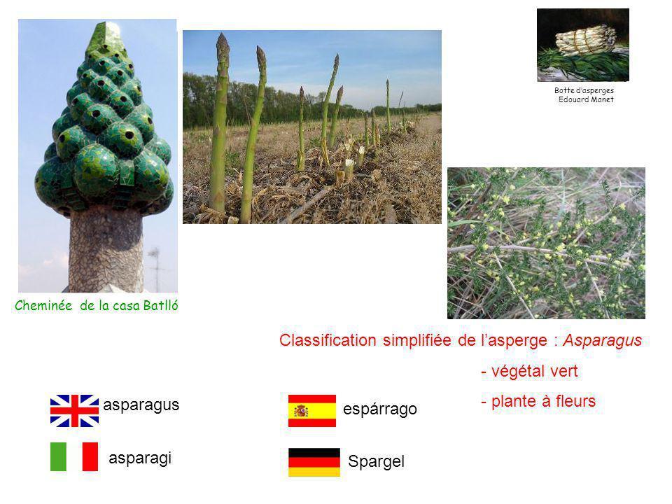 Classification simplifiée de l'asperge : Asparagus - végétal vert