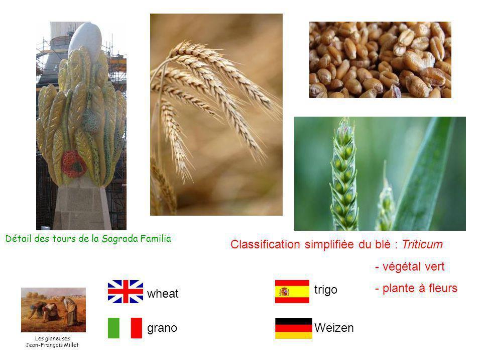 Classification simplifiée du blé : Triticum - végétal vert