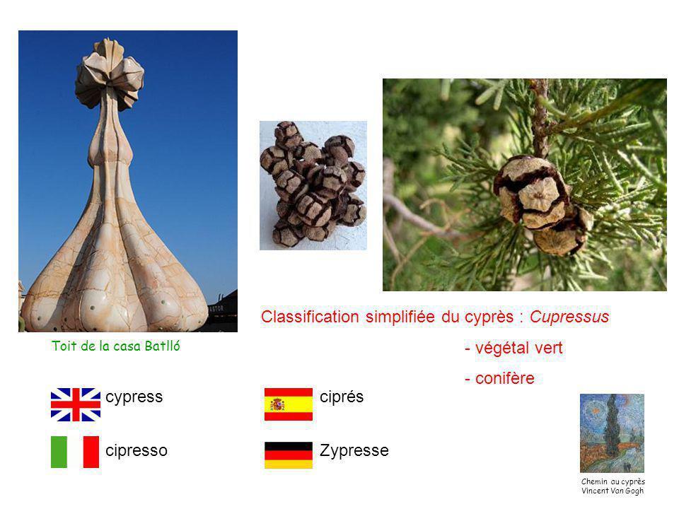 Classification simplifiée du cyprès : Cupressus - végétal vert