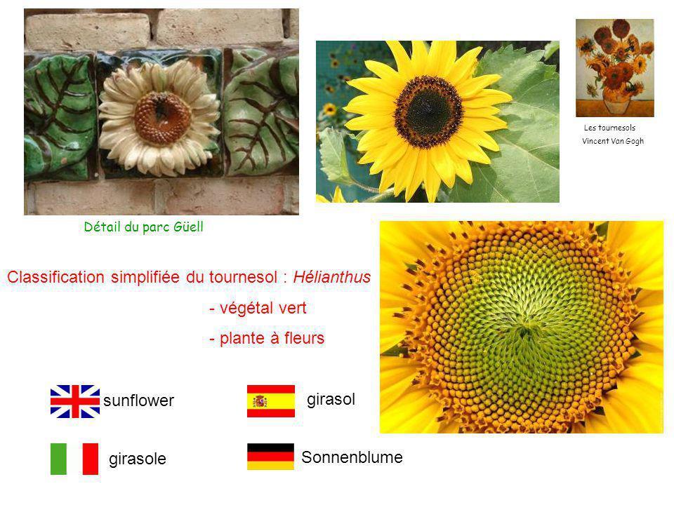 Classification simplifiée du tournesol : Hélianthus - végétal vert