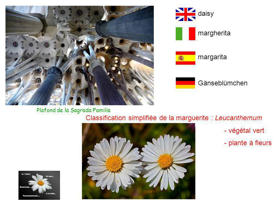 Classification simplifiée de la marguerite : Leucanthemum