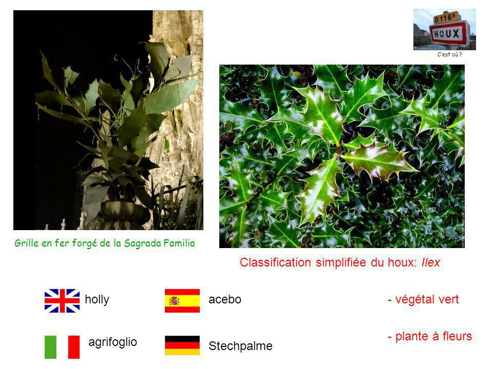 Classification simplifiée du houx: Ilex - végétal vert