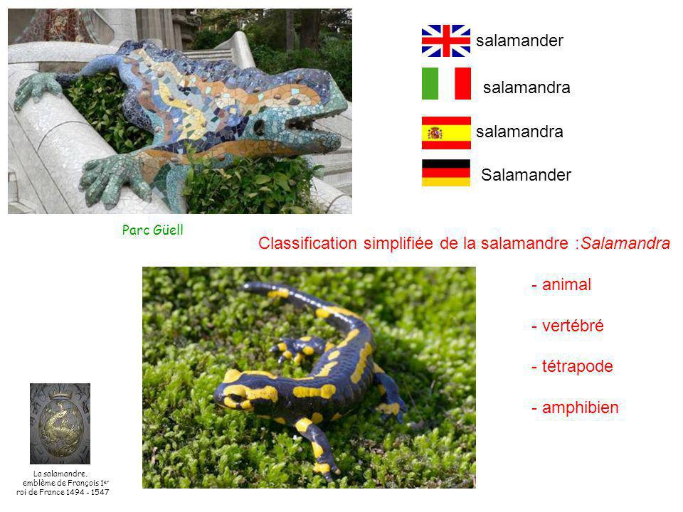 Classification simplifiée de la salamandre :Salamandra - animal