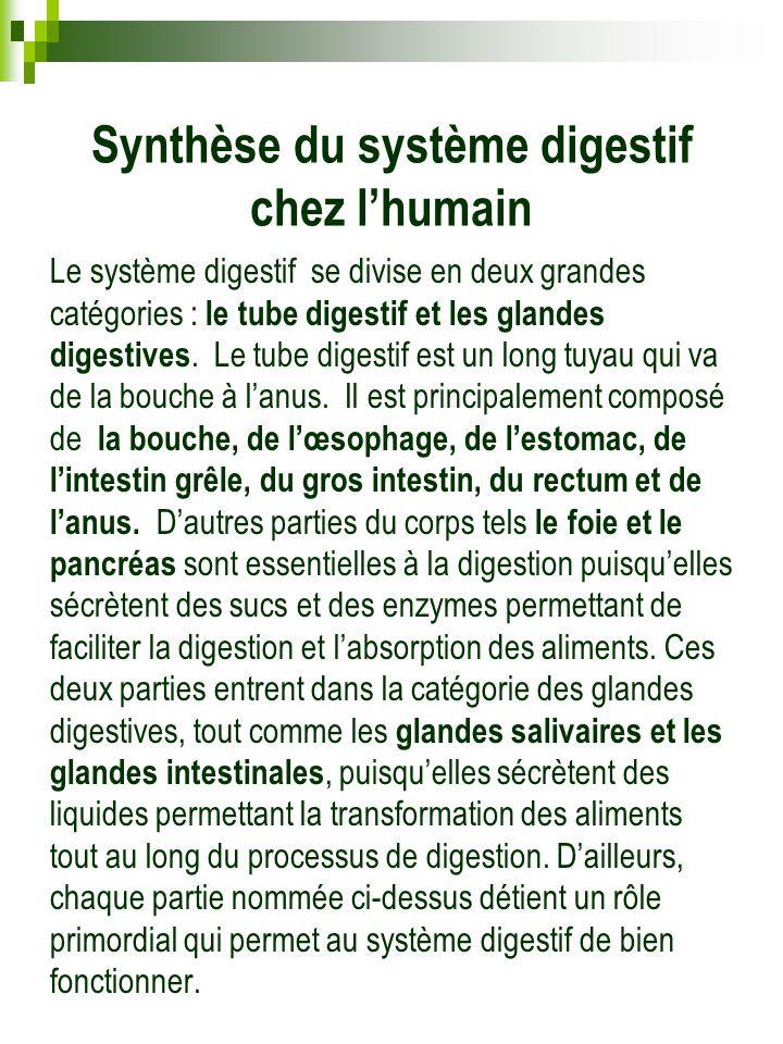 Synthèse du système digestif chez l'humain