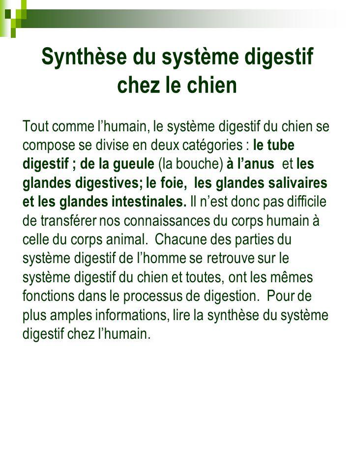 Synthèse du système digestif chez le chien