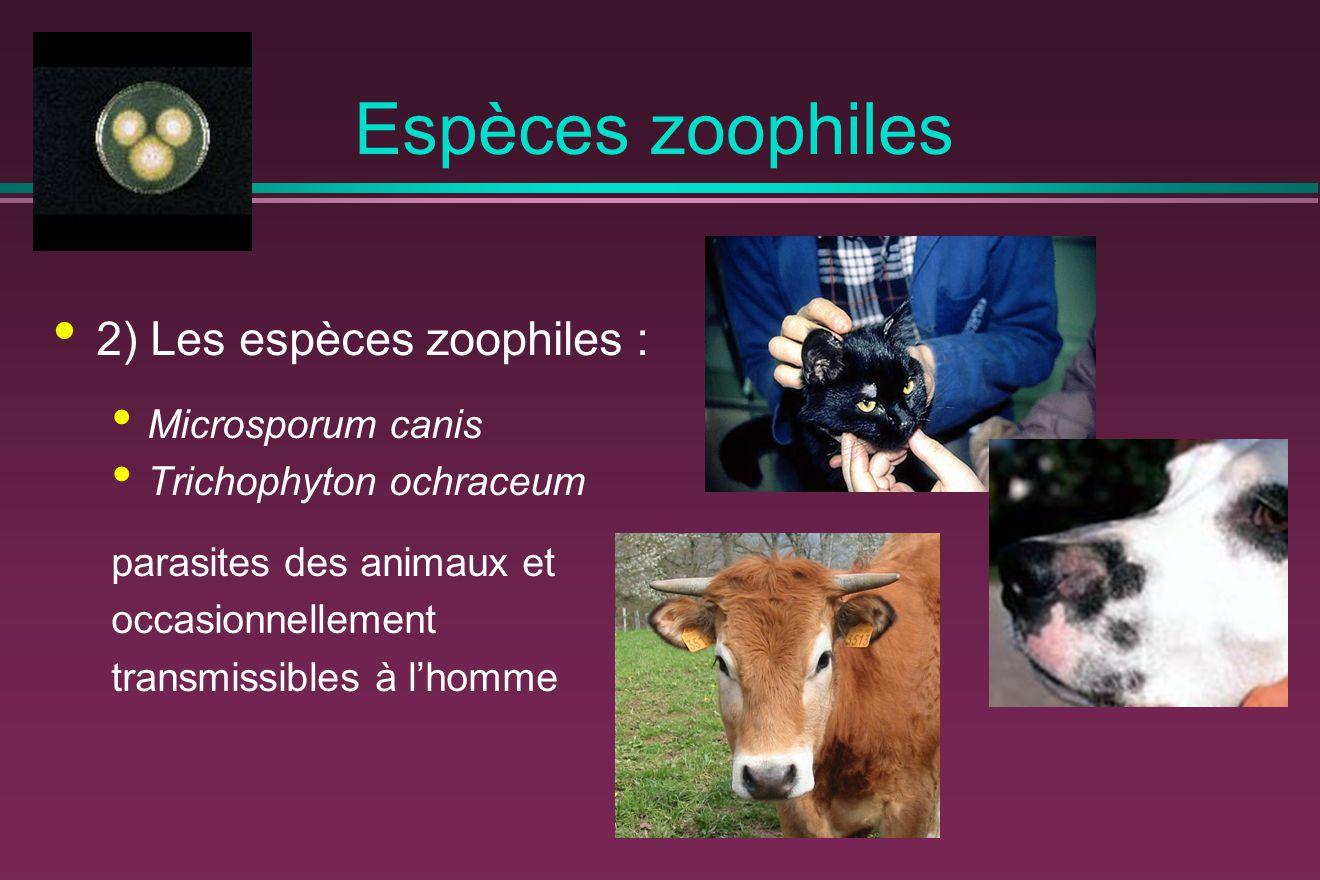 Espèces zoophiles 2) Les espèces zoophiles : Microsporum canis