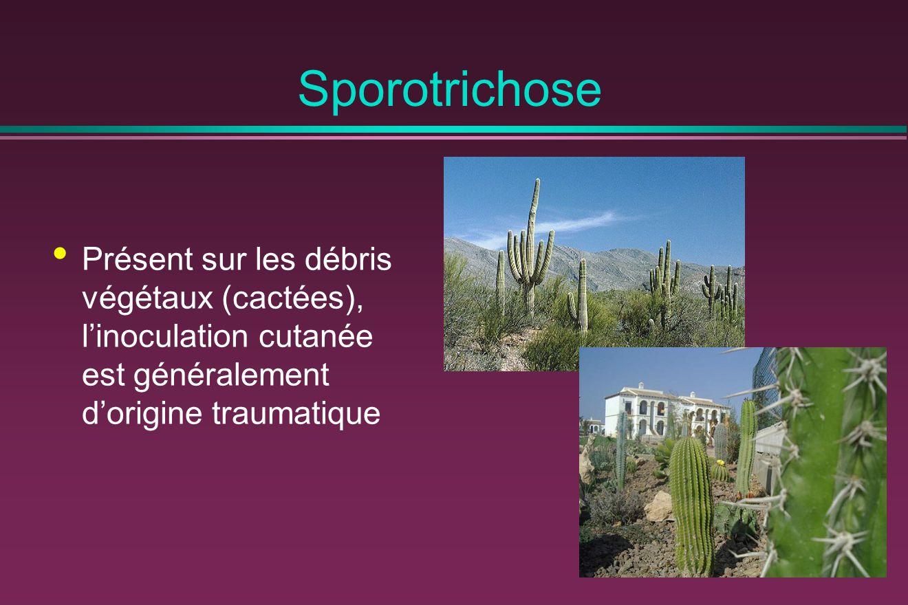 Sporotrichose Présent sur les débris végétaux (cactées), l'inoculation cutanée est généralement d'origine traumatique.