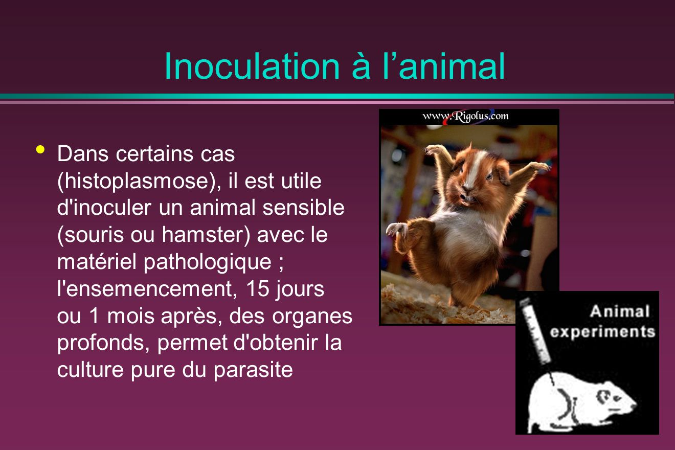 Inoculation à l'animal