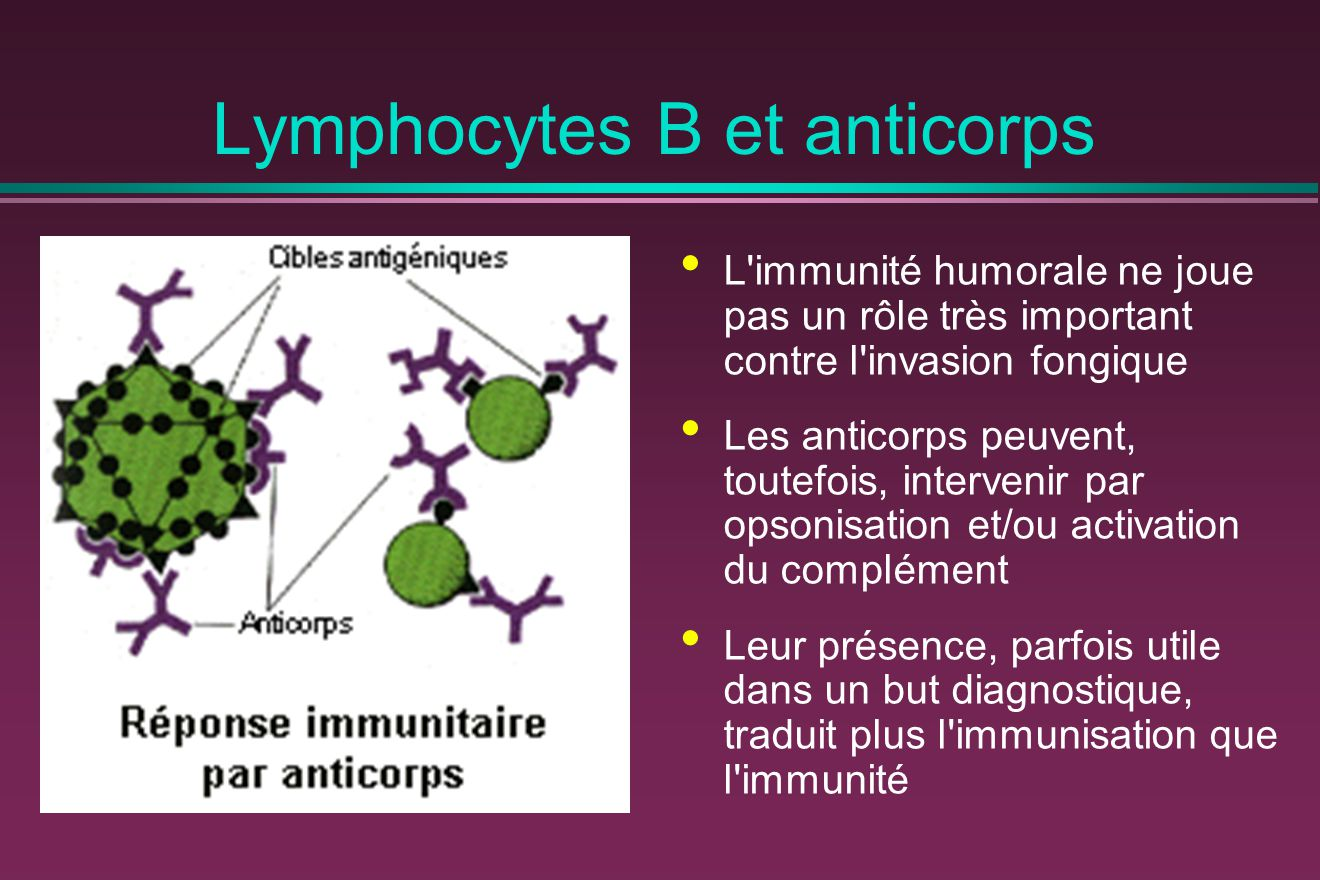 Lymphocytes B et anticorps