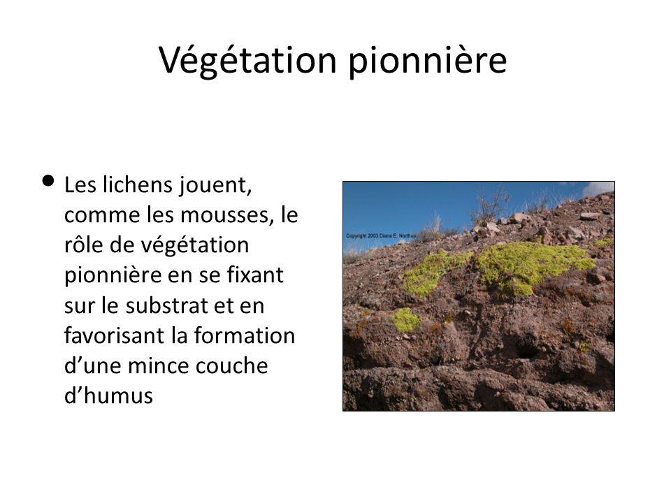 Végétation pionnière