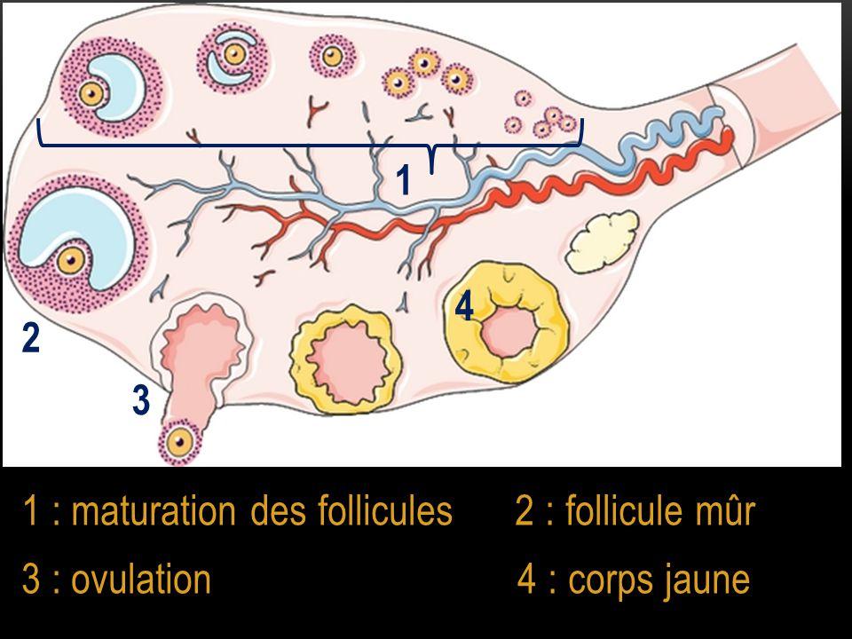 1 4. 2. 3. 1 : maturation des follicules 2 : follicule mûr.