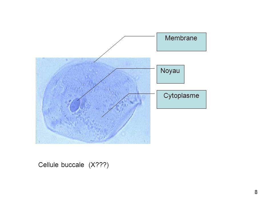 Membrane Noyau Cytoplasme Cellule buccale (X )