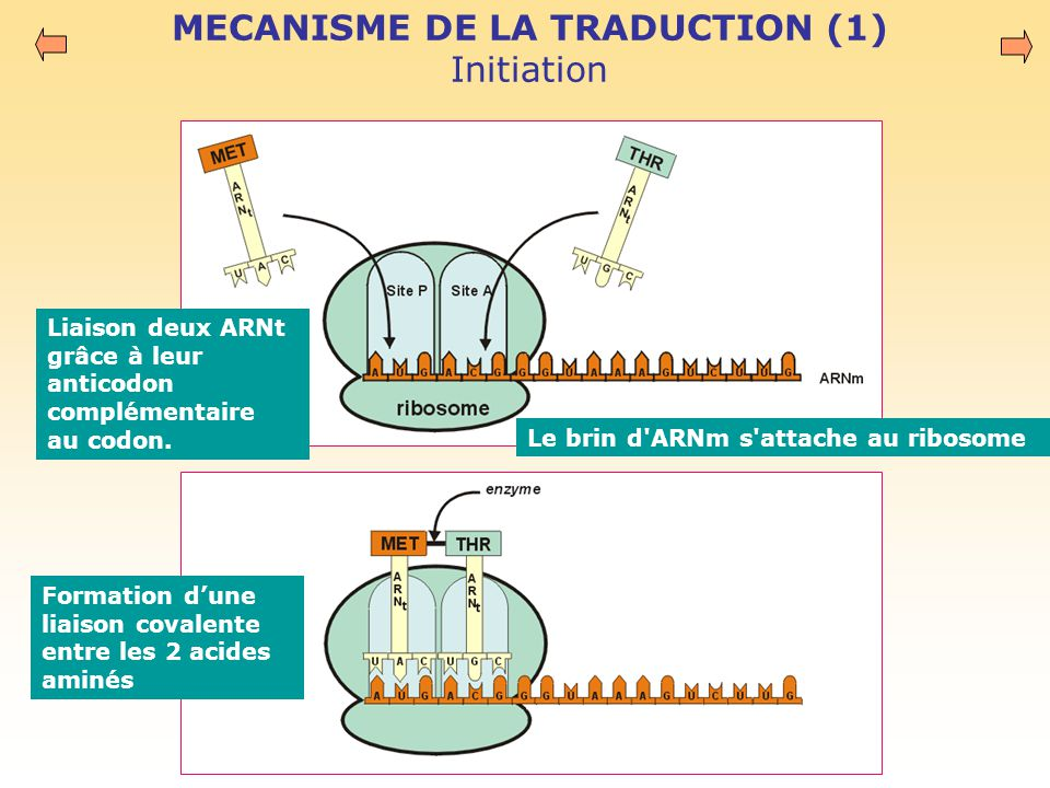 MECANISME DE LA TRADUCTION (1) Initiation
