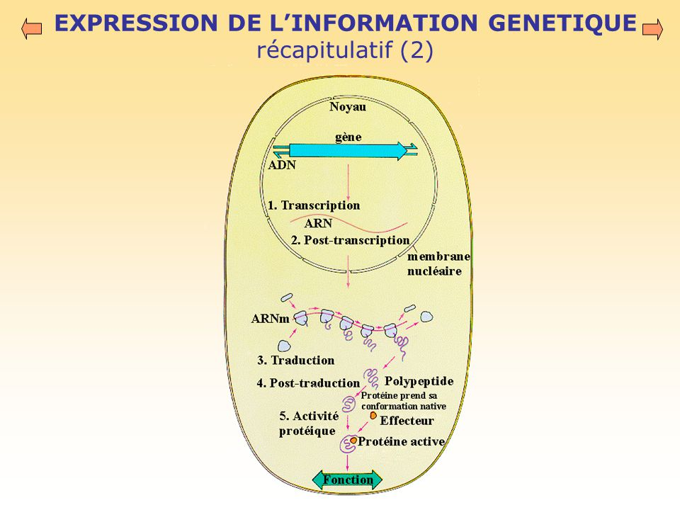 EXPRESSION DE L'INFORMATION GENETIQUE récapitulatif (2)