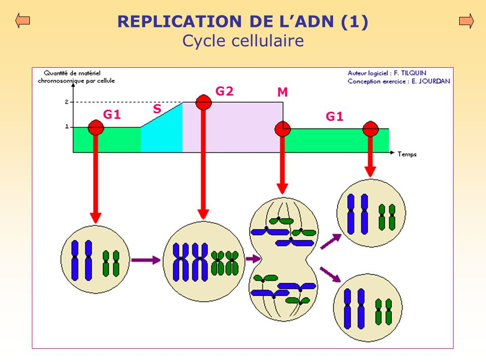 REPLICATION DE L'ADN (1) Cycle cellulaire