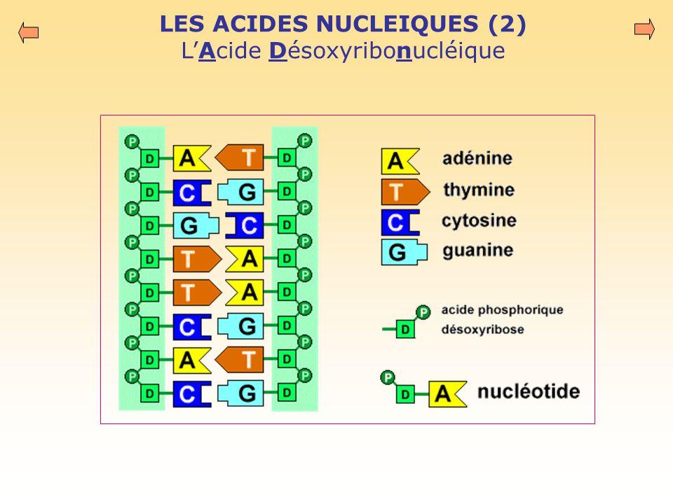 LES ACIDES NUCLEIQUES (2) L'Acide Désoxyribonucléique