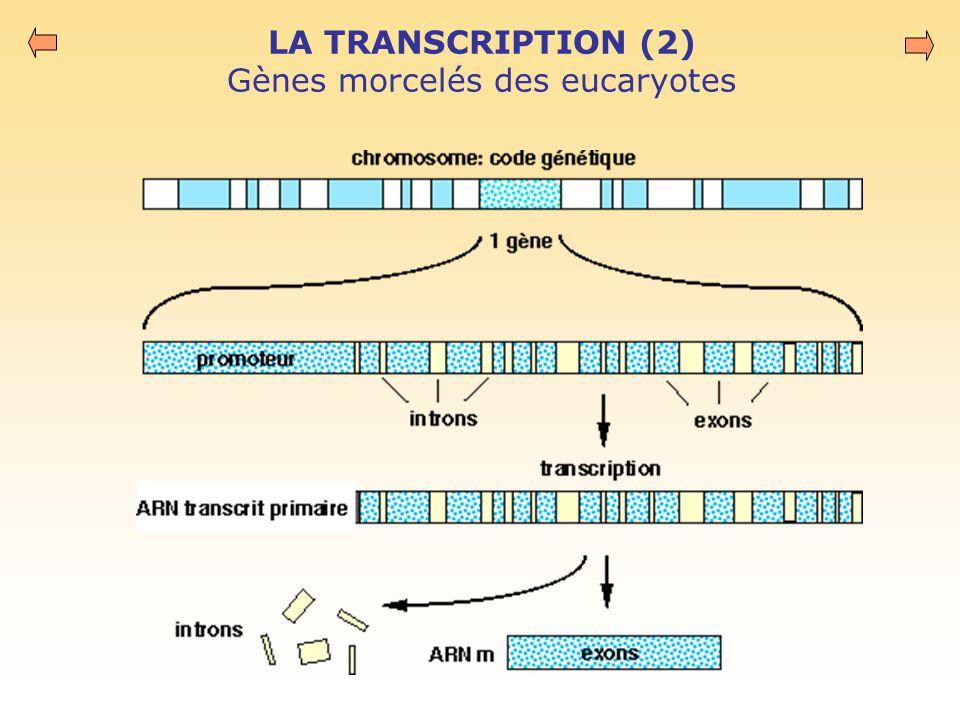 LA TRANSCRIPTION (2) Gènes morcelés des eucaryotes