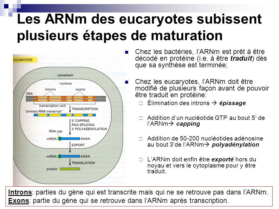 Les ARNm des eucaryotes subissent plusieurs étapes de maturation