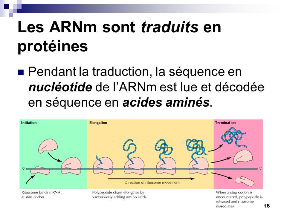 Les ARNm sont traduits en protéines