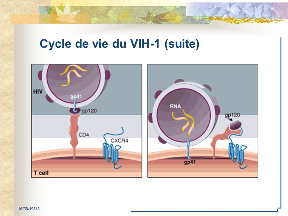 Cycle de vie du VIH-1 (suite)