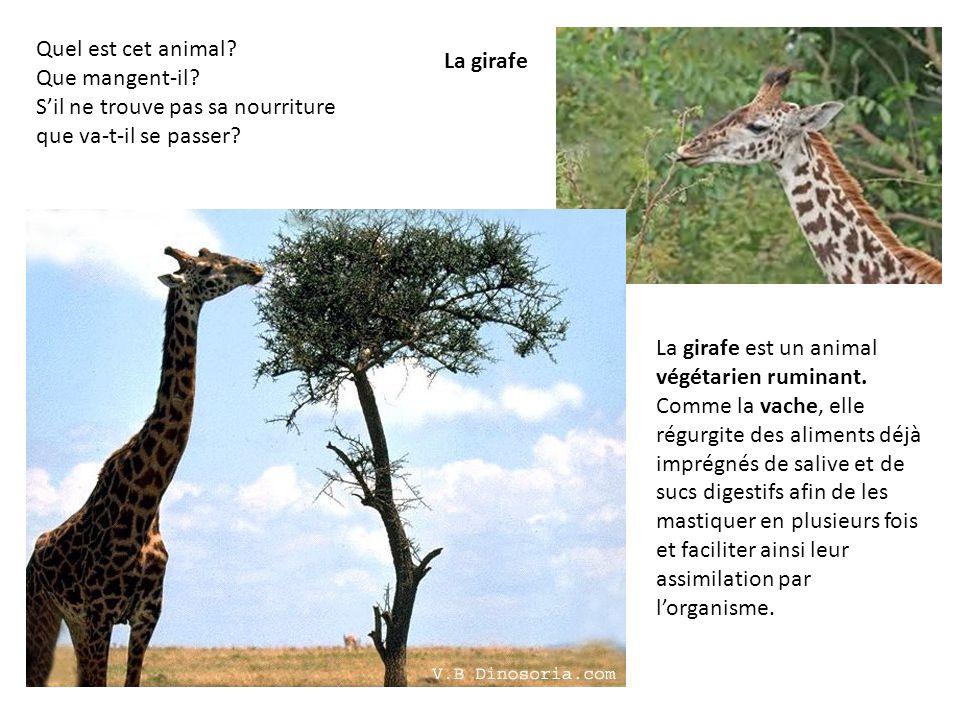 Quel est cet animal Que mangent-il S'il ne trouve pas sa nourriture que va-t-il se passer La girafe.