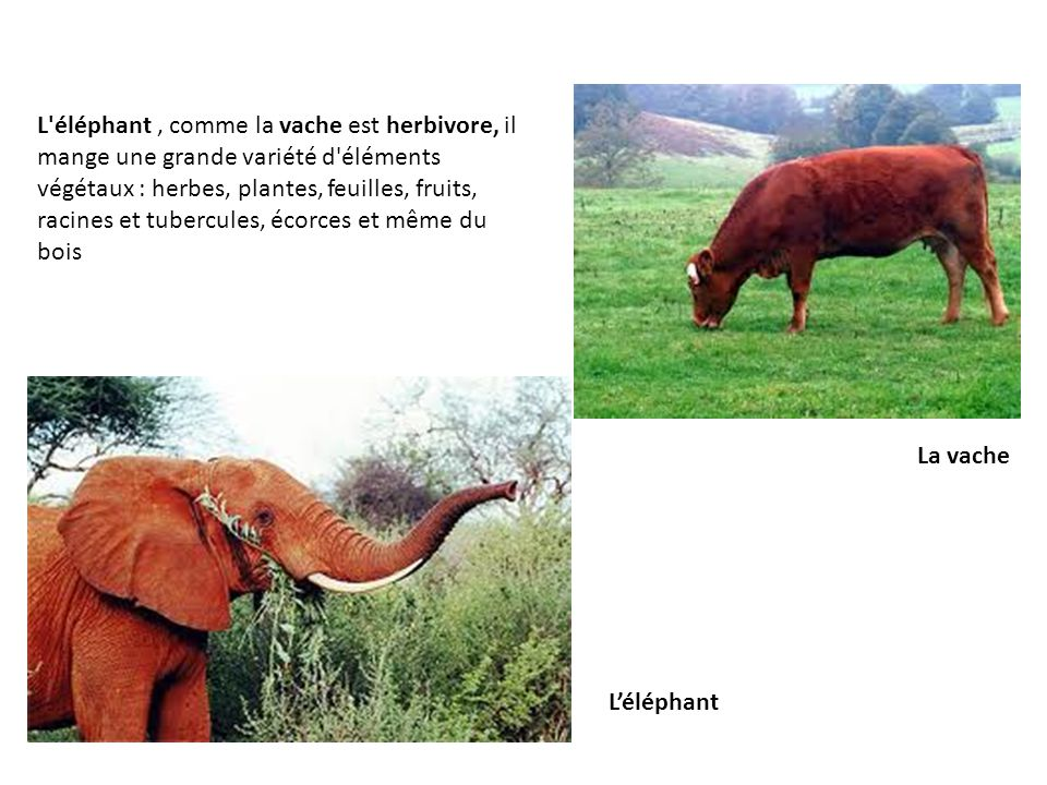 L éléphant , comme la vache est herbivore, il mange une grande variété d éléments végétaux : herbes, plantes, feuilles, fruits, racines et tubercules, écorces et même du bois