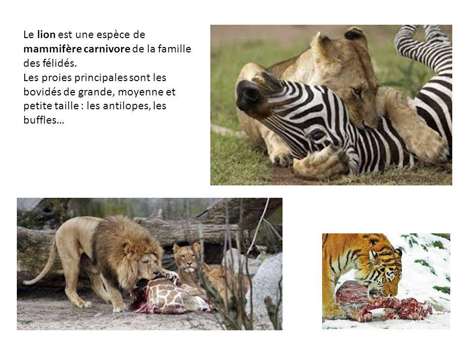 Le lion est une espèce de mammifère carnivore de la famille des félidés.