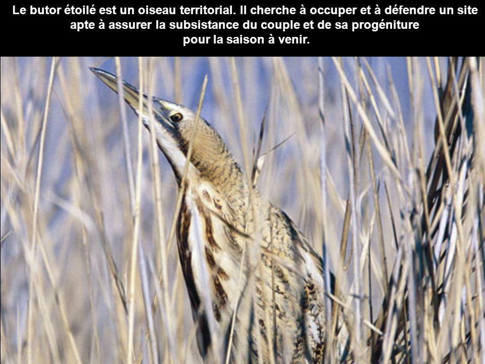 Le butor étoilé est un oiseau territorial