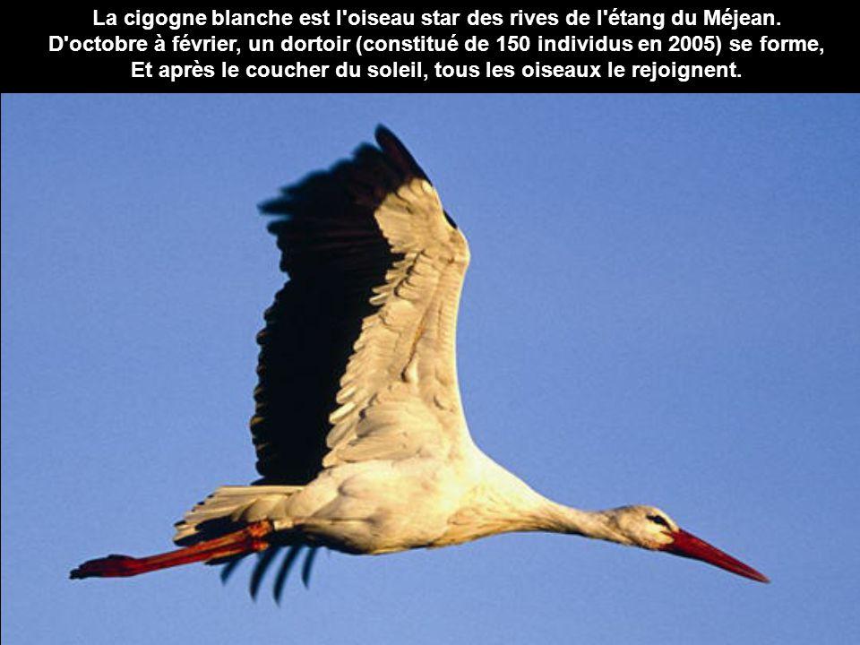 La cigogne blanche est l oiseau star des rives de l étang du Méjean.